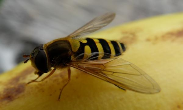Photo of Hover fly on my banana
