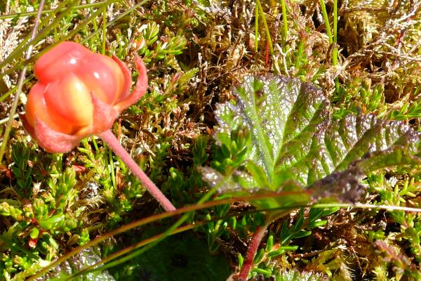 Photo of Cloudberry in Coire an Lochain